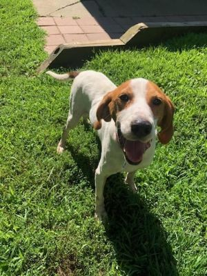 Braddock is a very sweet coonhound He is a happy dog with a big heart Braddock likes to play with