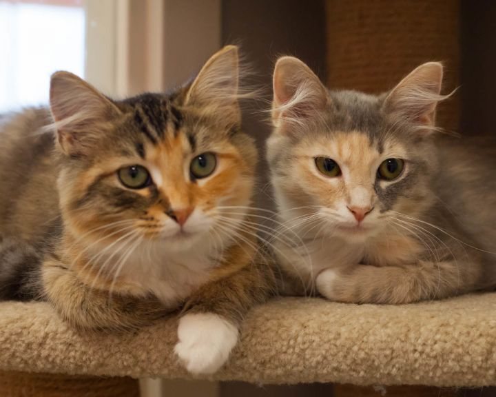 Clarisa, an adopted Calico & Domestic Long Hair Mix in Ponte Vedra, FL