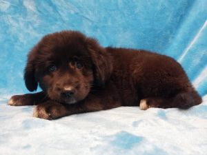 ABBEY- 8 weeks and 12lbs as of 72820 Femaled Spayed PYRChow Chow Mix 70