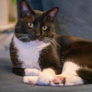 Petro Domestic Short Hair Cat