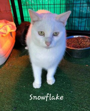 Snowflake is a beautiful all white 3 year old sweetie pie She is super affectionate once she gets t