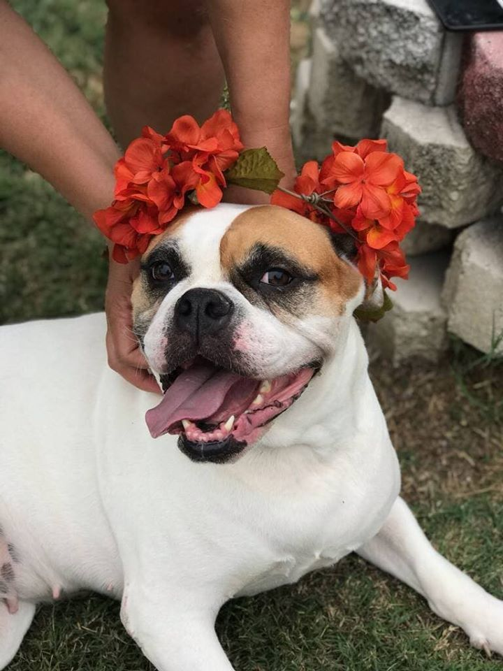 Molly, an adopted American Bulldog & Boxer Mix in Cape Coral, FL