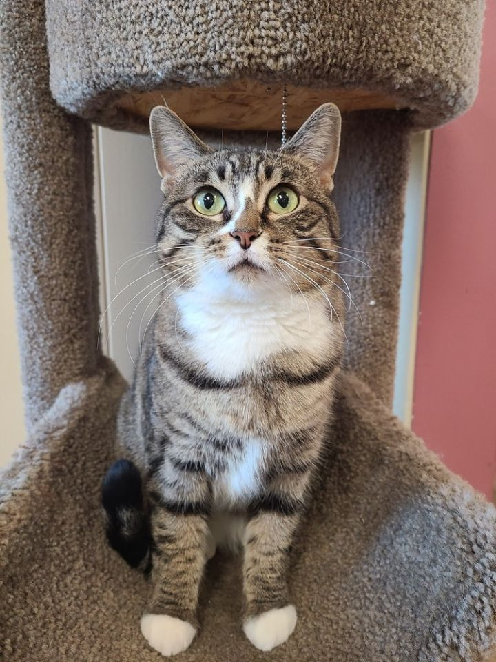 Kore, an adoptable Domestic Short Hair Mix in Papillion, NE