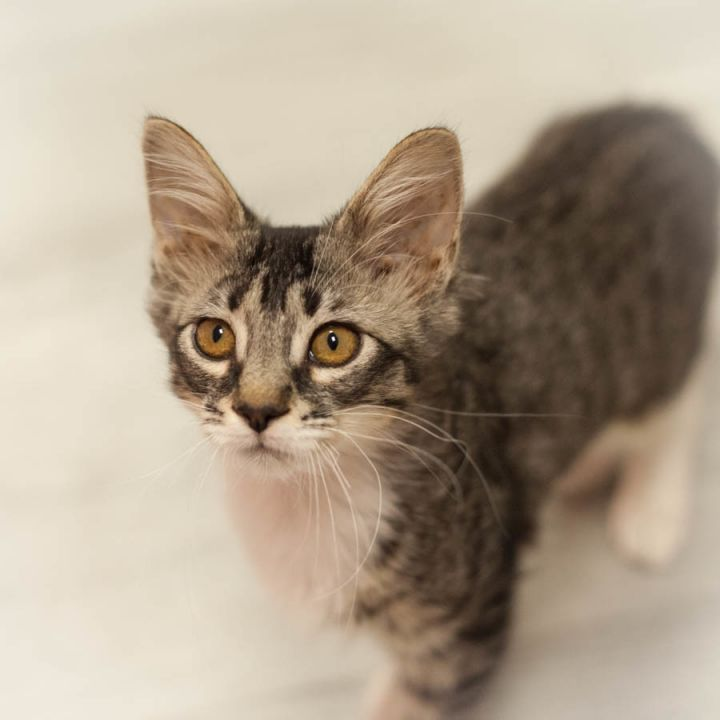 Magnolia, an adopted Maine Coon & Domestic Medium Hair Mix in Ponte Vedra, FL