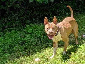 Ziggy American Staffordshire Terrier Dog