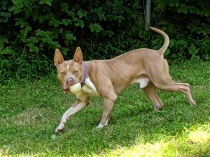 Courtesy Post for Ziggy Ziggy is part of New Beginnings Rescue and is currently in boarding at Nort