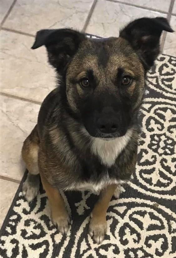 Dog For Adoption Hope An Akita Shepherd Mix In Billings Mt Petfinder