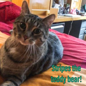 Stripes is a sweet  loving cuddly  big boy who is lost the only home he has ever known