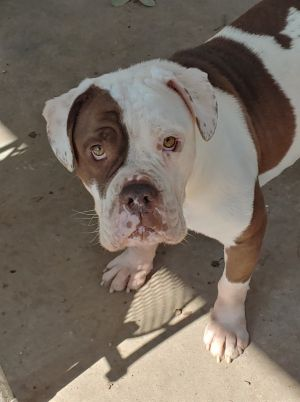 Meet Loki Loki is a 1 year old bulldog mix with puppy energy and a very unique look This low-ridin