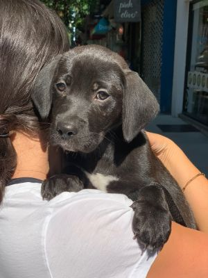 AXEL - 8 weeks and 9lbs as of 72820 Male Neutered LabBasset Hound Mix HIGH ACTIVE Will be a