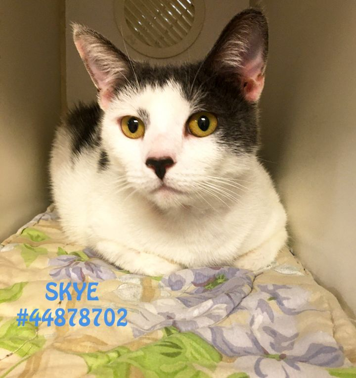 Skye, an adoptable Domestic Short Hair in Wilkes Barre, PA