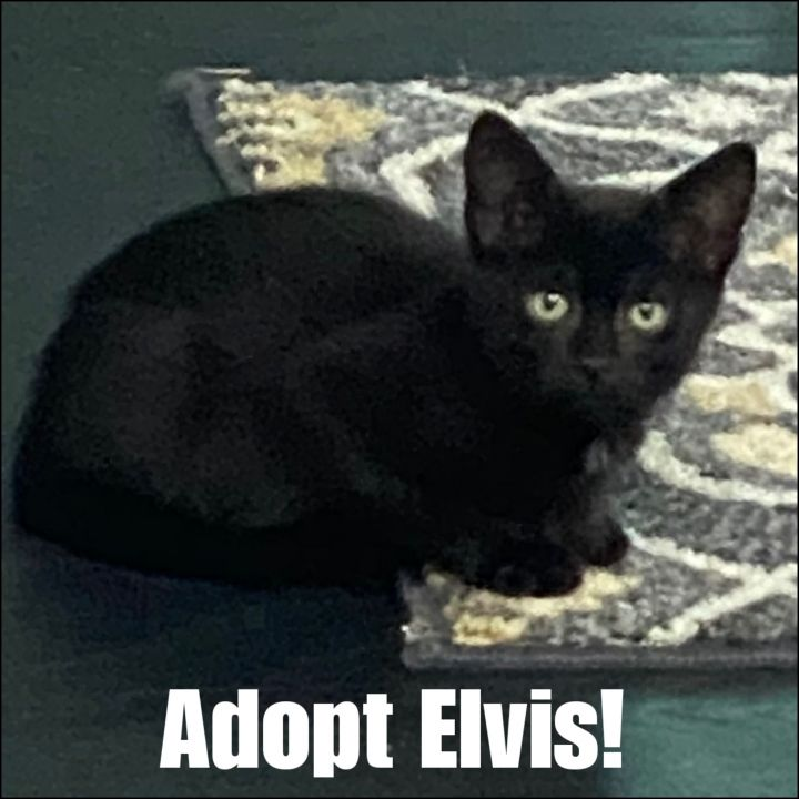 Elvis, an adoptable American Shorthair in Bayside, NY