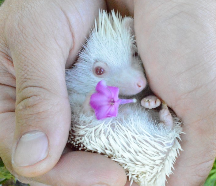 Freekeh, an adopted Hedgehog in Saint Paul, MN