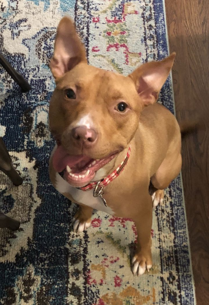 Lizzy, an adoptable Pit Bull Terrier Mix in Northville, MI