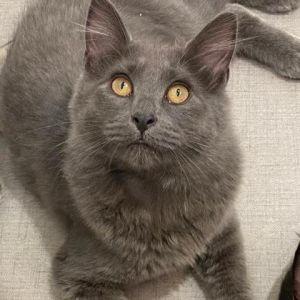 Pancake Domestic Medium Hair Cat