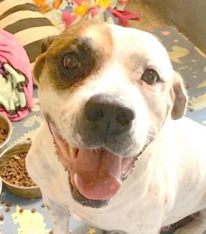 Bella is a beautiful American Bulldog she is about 5 yrs old and rescued from the Miami Shelter Sh