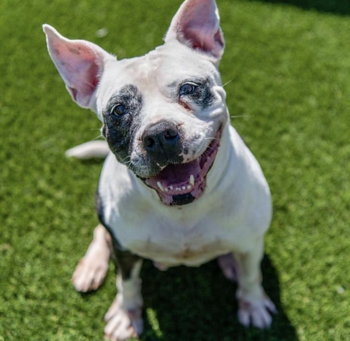 Kendra, an adoptable American Bulldog & Pit Bull Terrier Mix in Cortlandt Manor, NY