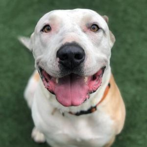 Hi people Nice to meet you Im Phineas Im a 2 year old pit bull mix and yes