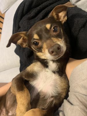 Breed Chihuahua Age 8 yrs Weight 10 lbs Good with dogs no Good with cats unsure Good with kid