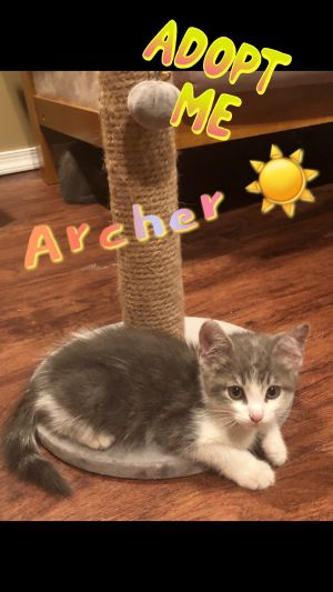 Alesha, Andrea and Archer Domestic Short Hair Cat