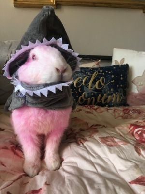 ARNOLD This poor rabbit dyed pink by an abusive individual was dumped in a park in Nyack to die Lu