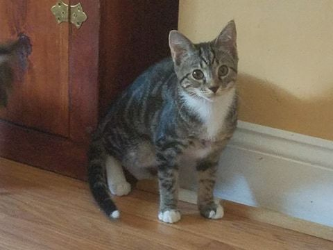 Billy, an adopted Domestic Short Hair in Fredericksburg, VA