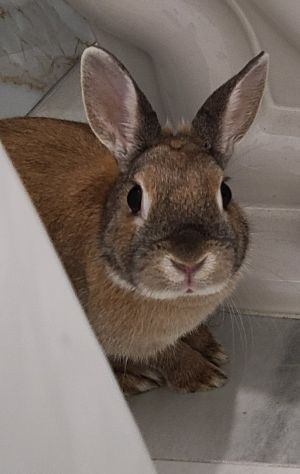HONEY BUNNY This little sweetheart was surrendered when his owners no longer had time for her She i