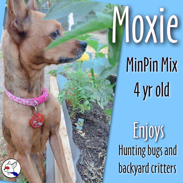 Moxie, an adoptable Miniature Pinscher Mix in Glendora, CA