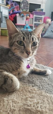 Cloud, an adoptable Domestic Short Hair in Millersville, MD