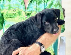 Merry Cherry She is a 12 week old 13 pound female Labrador Retriever This little love bug is re
