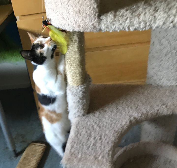 Isabella (Bella), an adopted Calico Mix in Stanford, CA