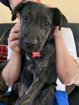 Breed Staffordshire Bull Terrier mix Age DOB 352020 6 months Weight 26 lbs Good with dogs y