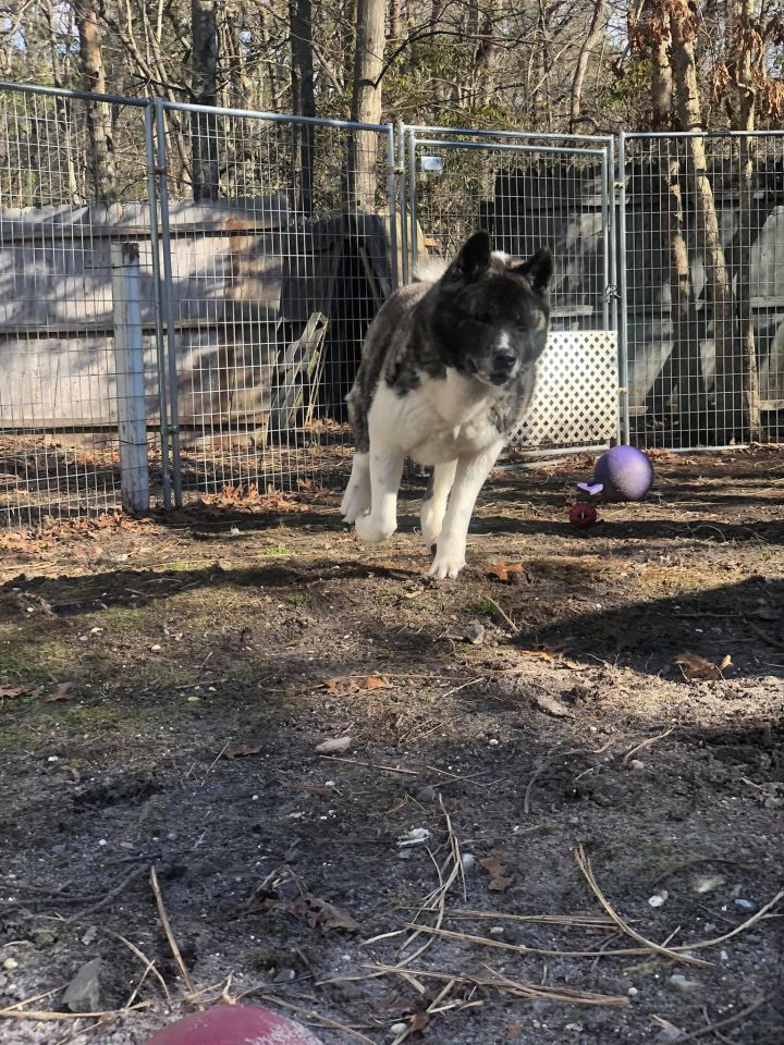 Nookie, an adoptable Akita in Toms River, NJ
