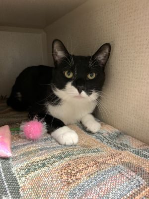 Meet Oreo This handsome 3 year old male tuxedo is ready to find his loving home Oreo is extremely