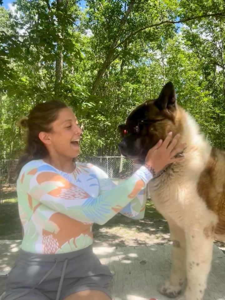 Bear-Bear, an adoptable Akita in Toms River, NJ