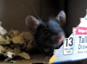Smudge is a MALE mouse who is very curious sweet and tolerant He can be squirmy to handle at firs