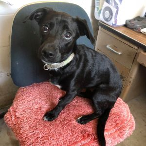 Meet Jack an adorable sweet 8-month-old labchihuahua mix that is his breed looking for his fo