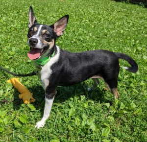Meet Serena a pretty 2-year-old rat terrier mix She weighs just 18 lbs Serena is sweet and will m
