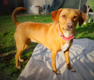 Meet Lilly a 2-year-old whippet mix looking for her forever home She weighs just 22 lbs Lilly is