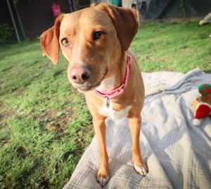Meet Lilly an adorable 22 lb 2-year-old whippet mix in need of a committed adopter willing to come