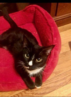 Cookie Tuxedo Cat