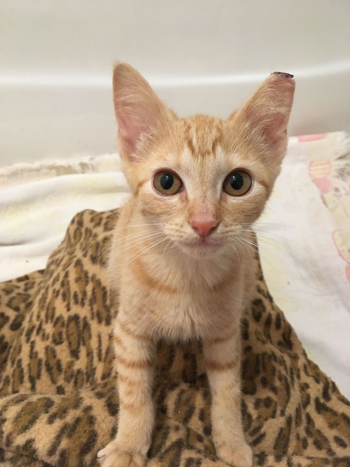 Sunshine, an adopted Domestic Short Hair in Fredericksburg, VA