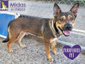 Handsome Midas is in foster care He is super affectionate and loves to run and play Email BARCFost