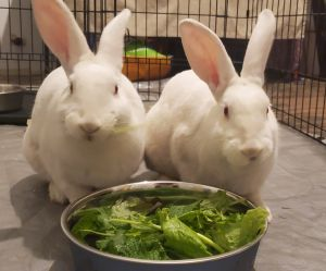 Need some laughter in your life Meet Laurel and Hardy in bunny suits Guaranteed to entertain you a