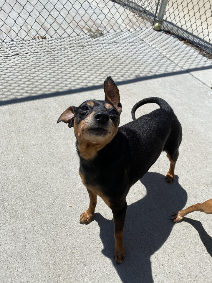 Urban Bourban, an adoptable Chihuahua & Miniature Pinscher Mix in Naperville, IL