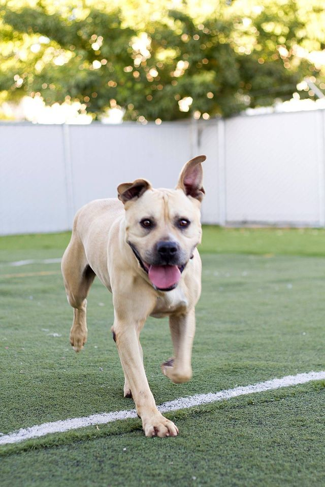Charleston, an adoptable Pit Bull Terrier Mix in Eagle, ID