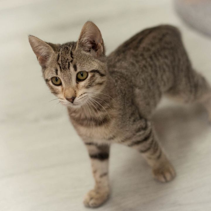 Kendra, an adopted Domestic Short Hair in Ponte Vedra, FL