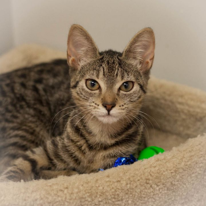 Kori, an adopted Domestic Short Hair in Ponte Vedra, FL_image-2
