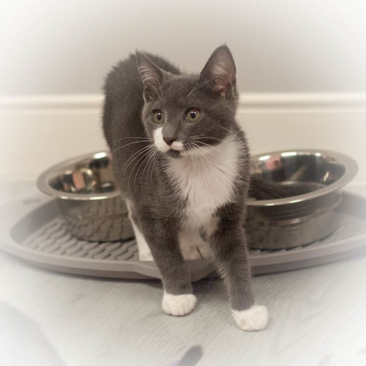 Blake, an adopted Domestic Short Hair in St Augustine, FL_image-2