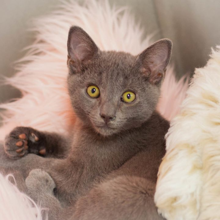 Maverick Malone, an adopted Russian Blue Mix in Ponte Vedra, FL_image-1